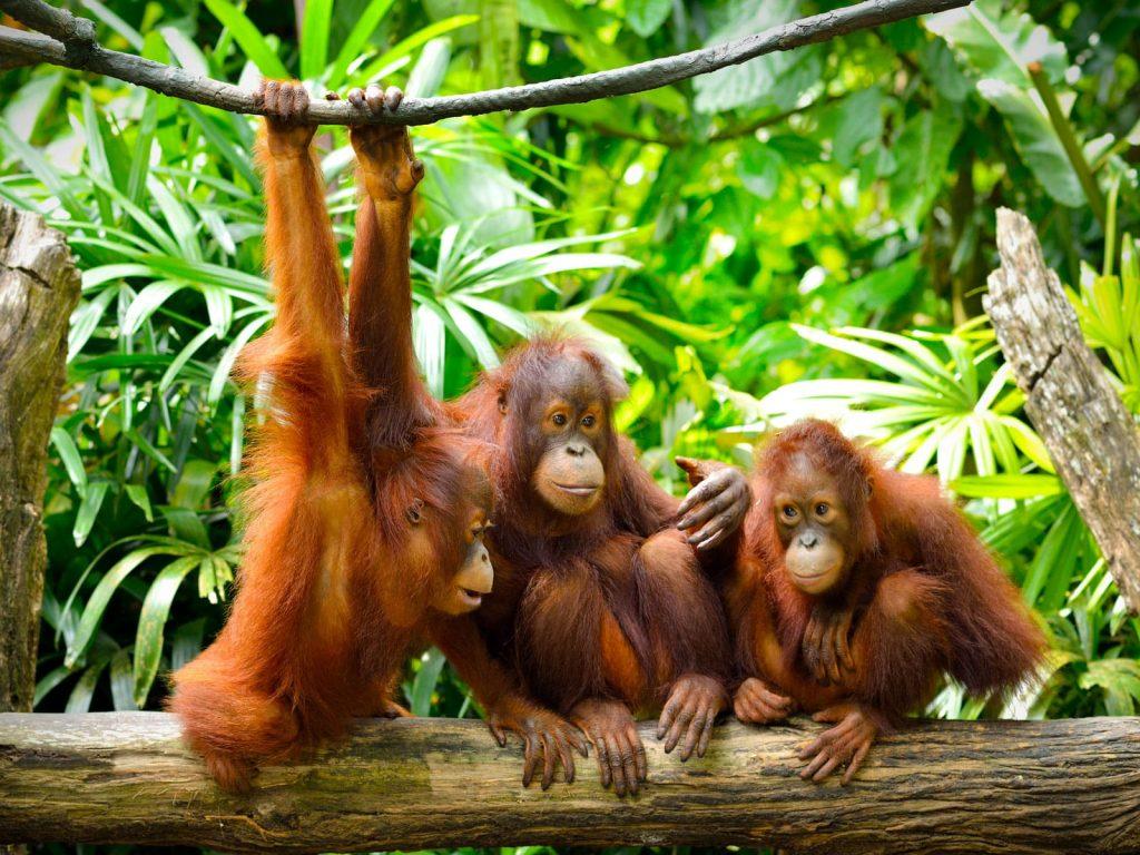 Sepilok orang-oetan opvangcentrum | Rama Tours