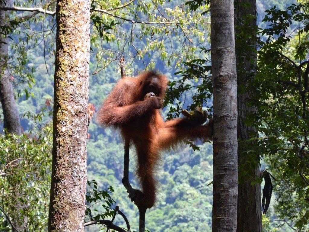 rondreis sumatra bukit lawang 1