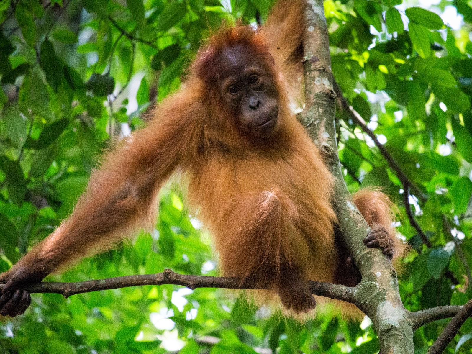 rondreis sumatra bukit lawang 3