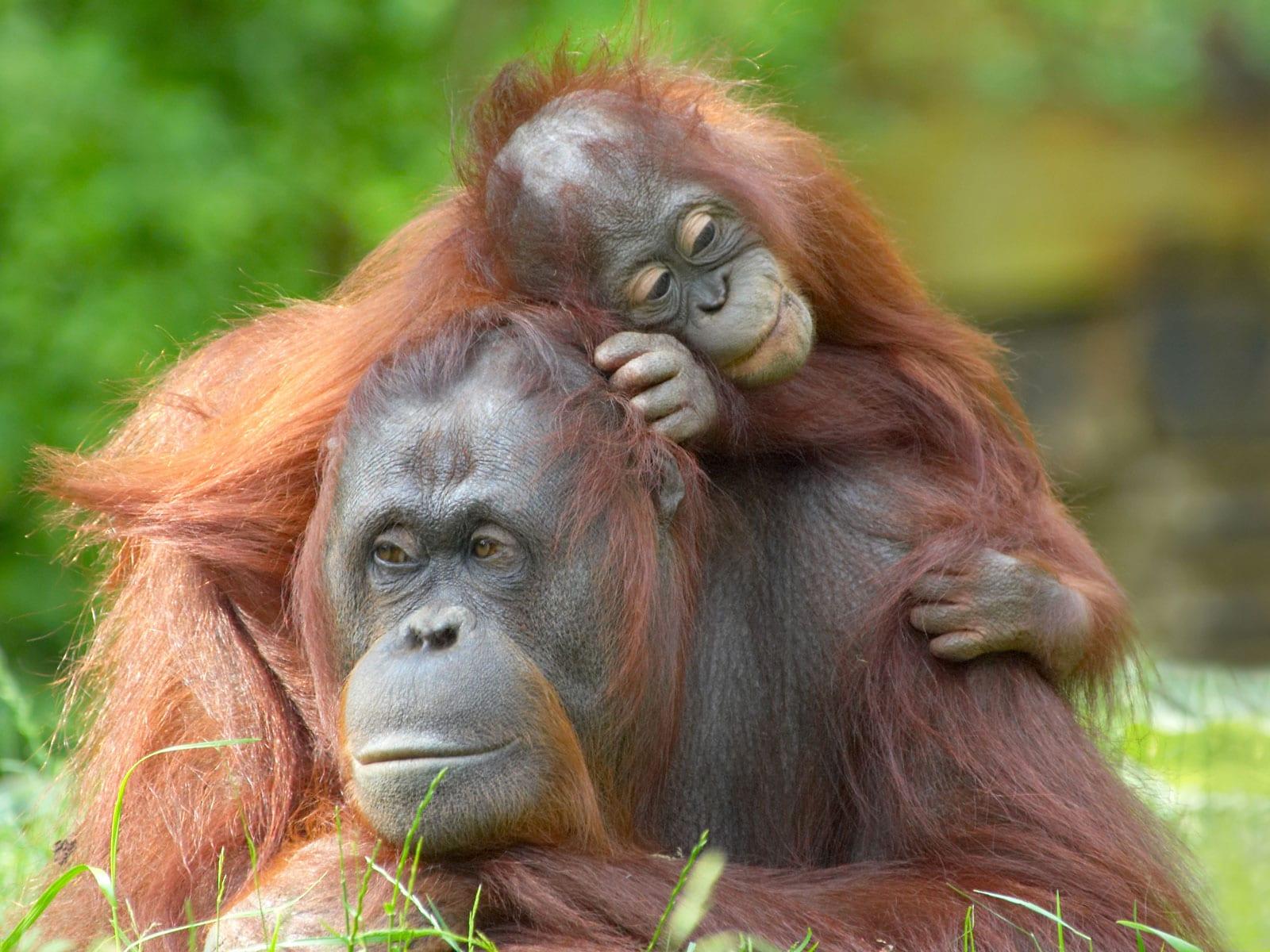 rondreis sumatra bukit lawang 7