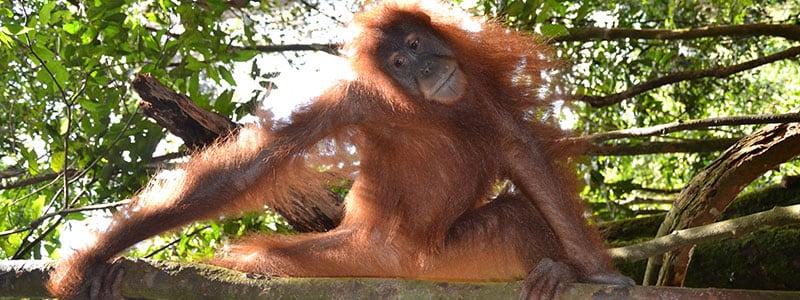 Orang-oetan in het Gunung Leuser | Rama Tours Holland