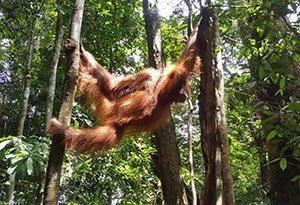 Orang-Oetans op Sumatra | Rama Tours Holland