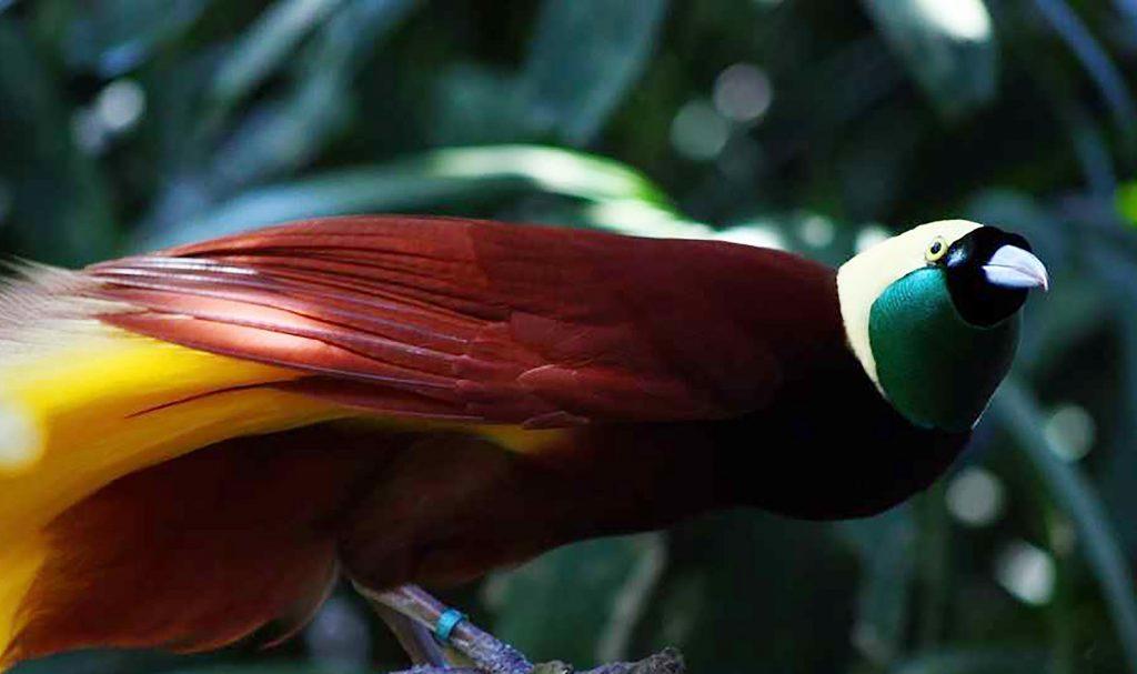 Papua, op zoek naar de paradijsvogel