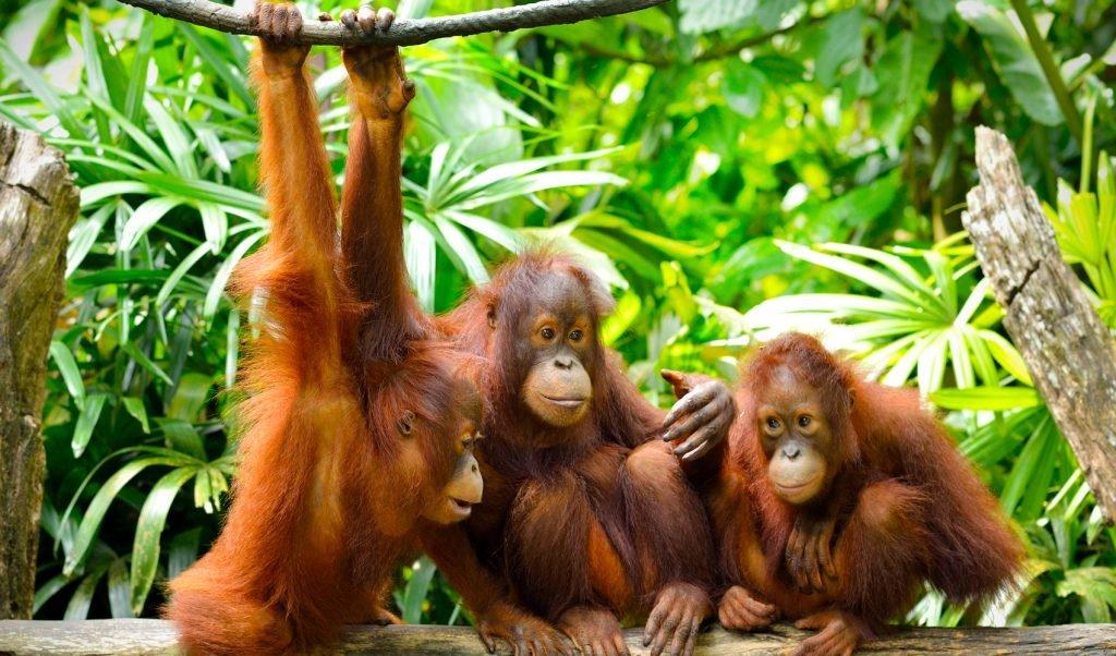 Een bezoek aan het Sepilok orang-oetan rehabilitatiecentrum