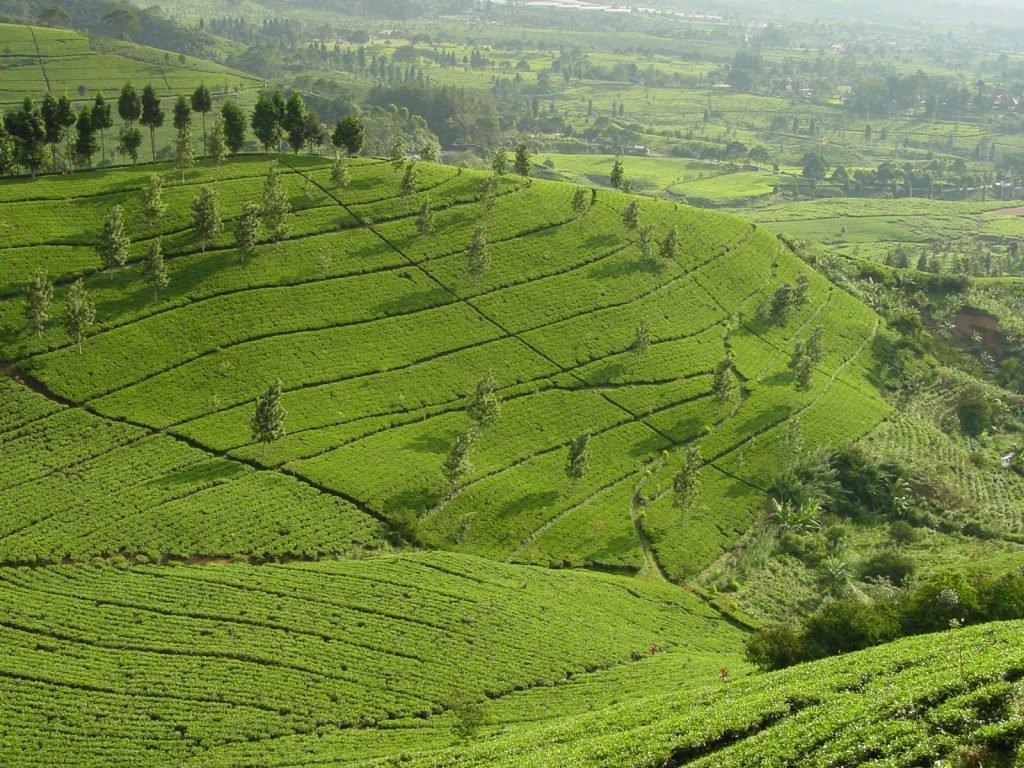 Theetuinen van Java | Rama Tours